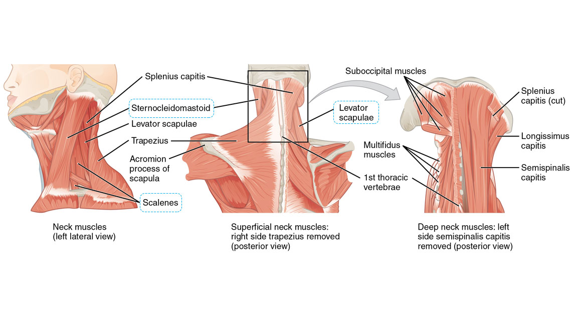 Soft Tissue Neck Anatomy Diagram - DIY Wiring Diagrams •